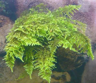 Продам излишки растений - P1100498.JPG