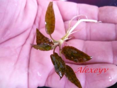 Продам излишки растений - P1110022.JPG