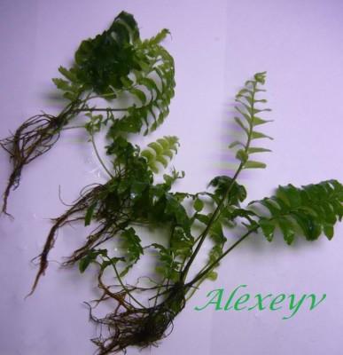 Продам излишки растений - P1100505.JPG