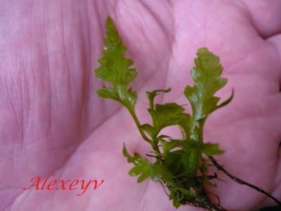 Продам излишки растений - P1110032.JPG