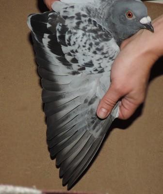 Кто нибудь голубей держит? - DSCN1907.JPG