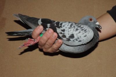 Кто нибудь голубей держит? - DSCN1908.JPG