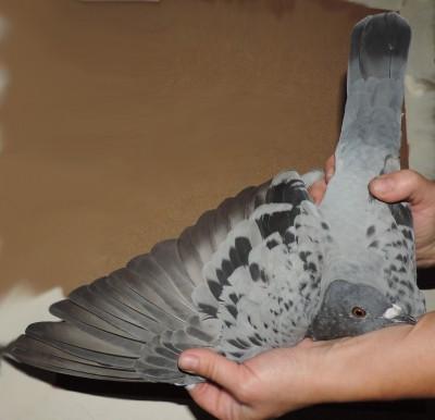 Кто нибудь голубей держит? - DSCN1911.JPG