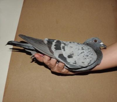 Кто нибудь голубей держит? - DSCN1912.JPG