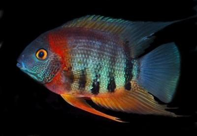 Большой ассортимент  Аквариумных рыбок - красноплечий.jpg