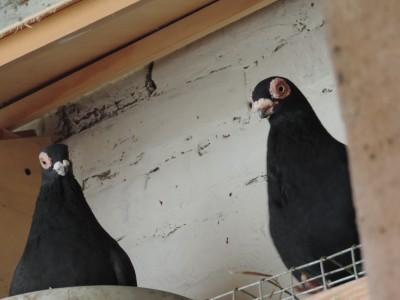Кто нибудь голубей держит? - DSCN2334.JPG