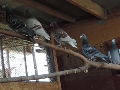 Кто нибудь голубей держит? - DSCN2339.JPG
