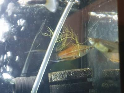 Жители двух аквариумов на 50 литров - IMG-e40e570d18d745eb7efad041c944dab9-V.jpg