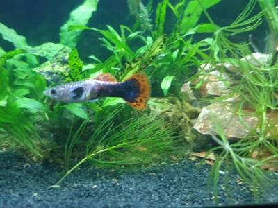 Жители двух аквариумов на 50 литров - IMG-d0b66a6320d5b34893455f208a245e58-V.jpg