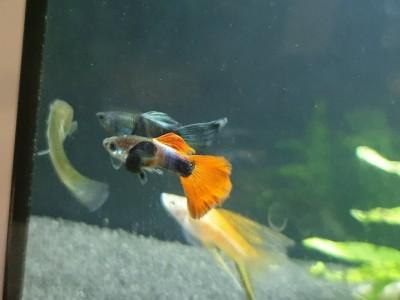 Жители двух аквариумов на 50 литров - IMG-b137680f621d2596c90781f754a77e01-V.jpg