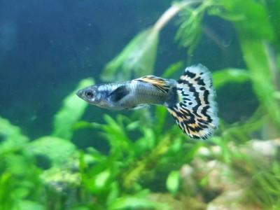 Жители двух аквариумов на 50 литров - IMG-7e30f221b42576b14992dadb73b0bdd1-V.jpg