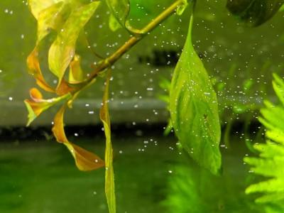 Гигрофила закручивает листья. - IMG_20190706_131846.jpg