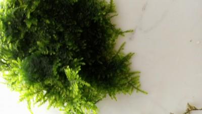 Куплю/продам/подарю Рыбку или Растение - DSC_0441.JPG