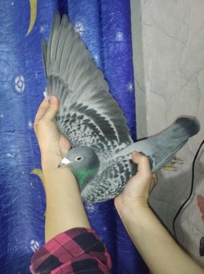 Кто нибудь голубей держит? - 2.jpg