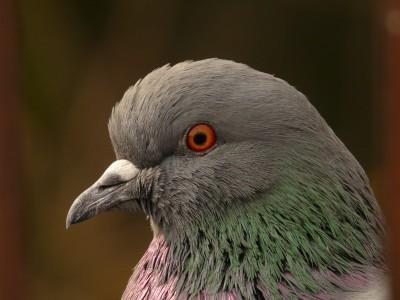 Кто нибудь голубей держит? - 4695515.jpg