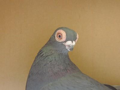 Кто нибудь голубей держит? - DSCN2727.JPG