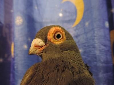 Кто нибудь голубей держит? - DSCN2741.JPG