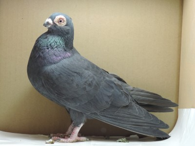 Кто нибудь голубей держит? - DSCN2731.JPG
