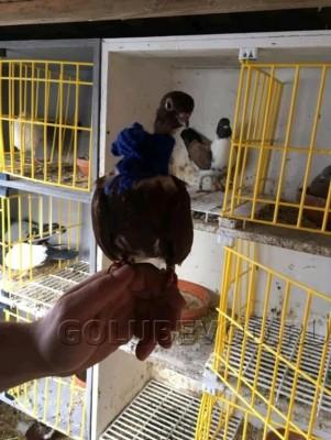 Кто нибудь голубей держит? - post-1139-0-27586600-1551036539.jpg