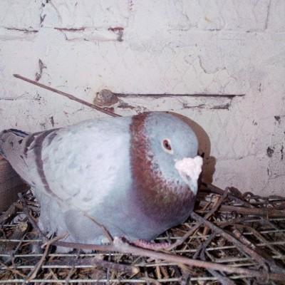Кто нибудь голубей держит? - IMG_20200320_111616.jpg