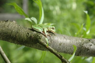 древесная лягушка - DSC_0019.JPG