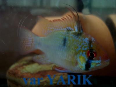 Ярики (Yarik) - DSC04192.JPG
