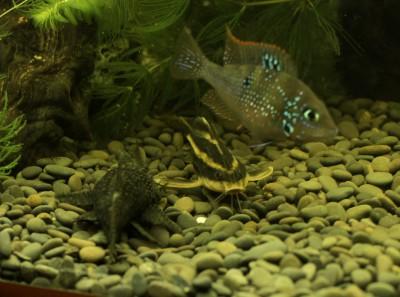 платидорас при кормежке рыб не боится - DSC01579.jpg