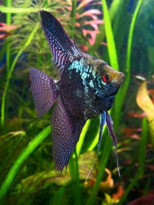Мои рыбы - Pterophyllum scalare blue cobra w1.jpg