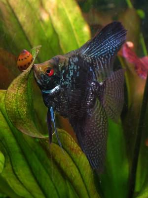 Мои рыбы - Pterophyllum scalare blue cobra w2.jpg