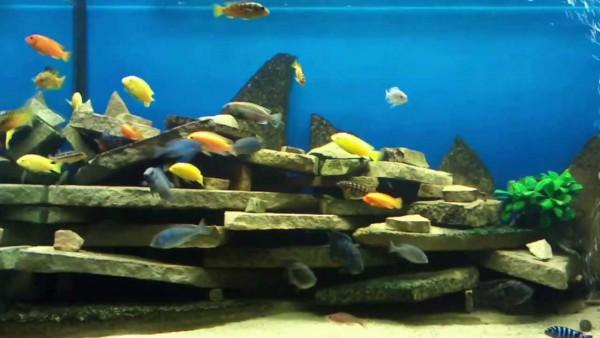 Дерутся рыбы...нужны укрытия - maxresdefault.jpg
