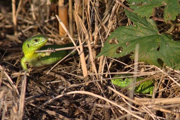 Околокарасунские ящерицы - mDSC05920.jpg
