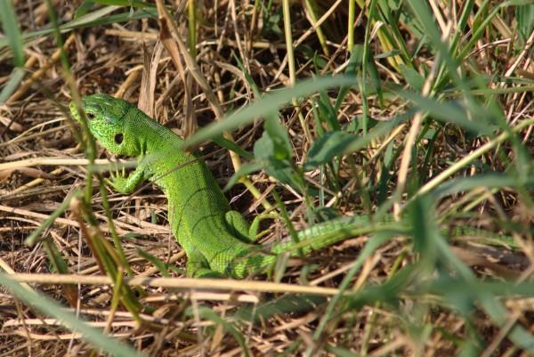 Околокарасунские ящерицы - mDSC05924.jpg