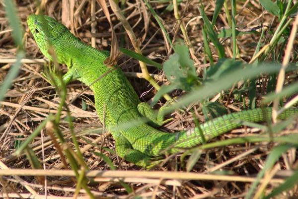 Околокарасунские ящерицы - mDSC05927.jpg