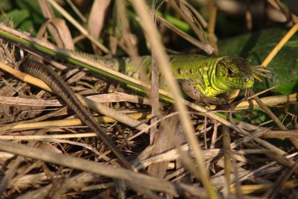 Околокарасунские ящерицы - mDSC05933.jpg