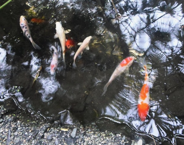 Мини аква-пруд (Адлер) - SAM_6968....jpg